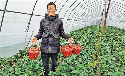 花溪草莓甜了冬天